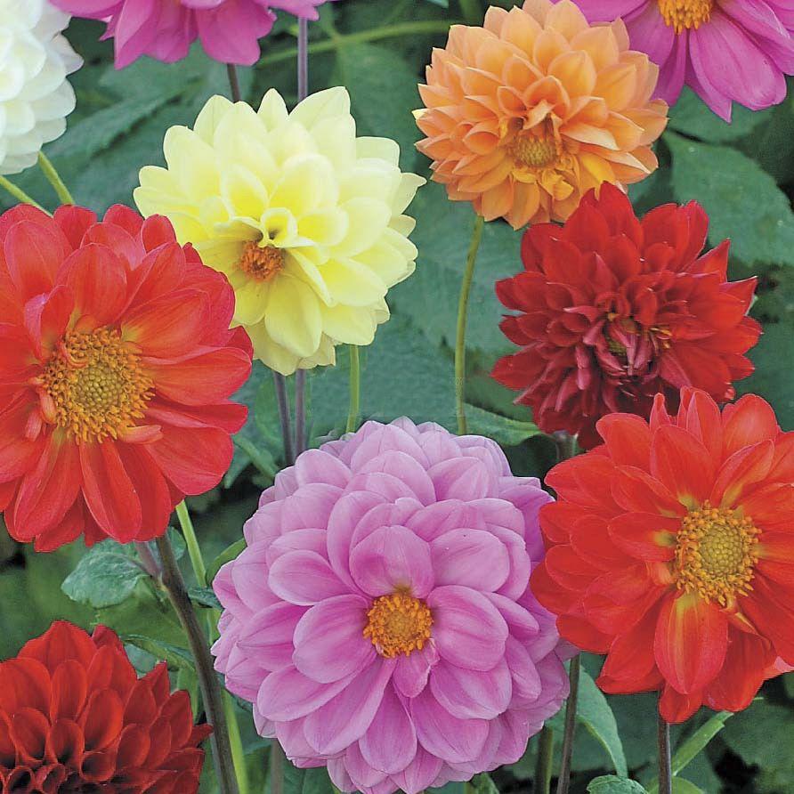 цветы георгины однолетние